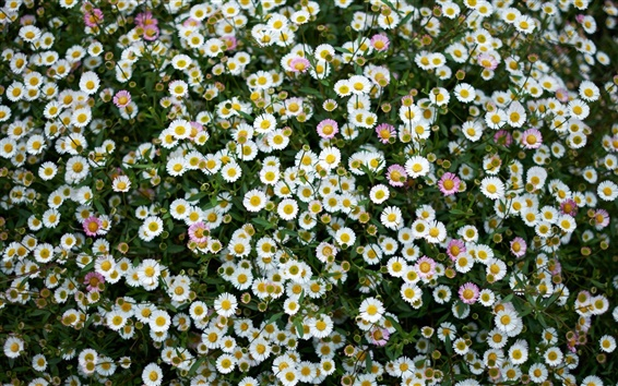 Wallpaper Daisies, meadow, little flowers