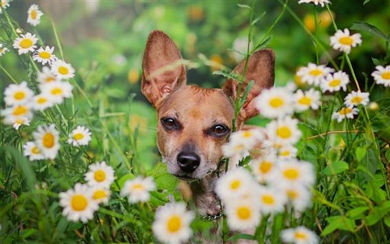 Wallpaper Dog, daisies, flowers