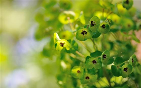 Papéis de Parede Euphorbia, plantas, flores verdes