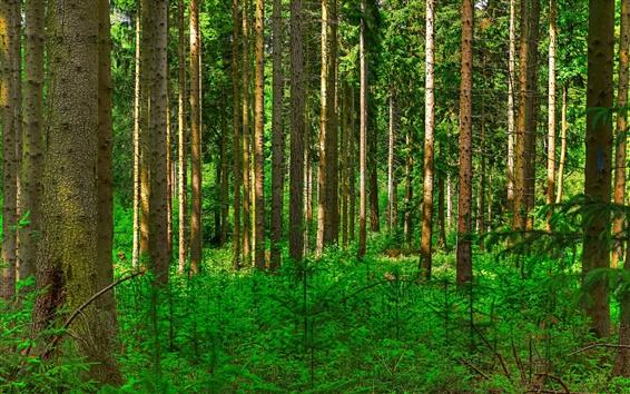 Wallpaper Forest, trees, green shrubs, pine trunk