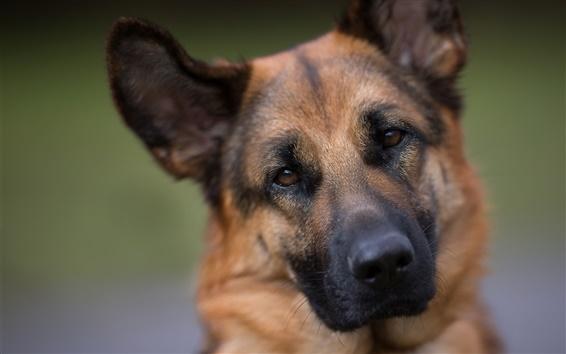 Обои Немецкая овчарка, собака, лицо, портрет
