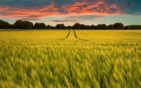 Wallpaper Green field, rye, horizon, trees, sunset