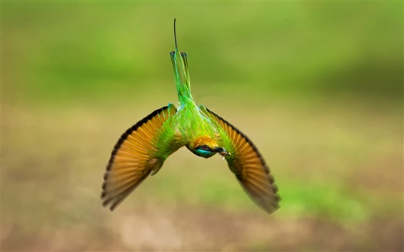 Fondos de pantalla Colibrí verde, vuelo, alas