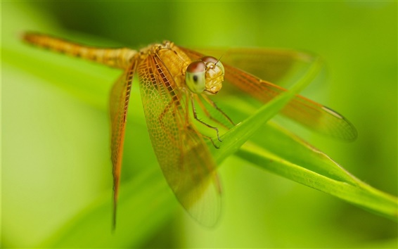 Wallpaper Insect close-up, dragonfly, wings, grass