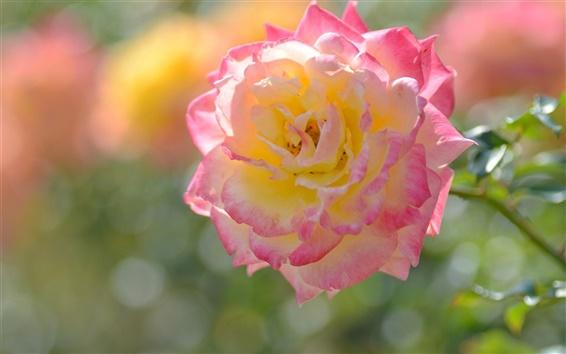 Papéis de Parede Flor amarela, rosa, pétalas, macro fotografia Rosa