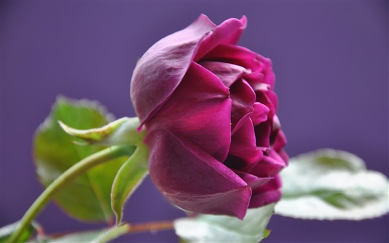 Wallpaper Red rose, bud, petals, leaves