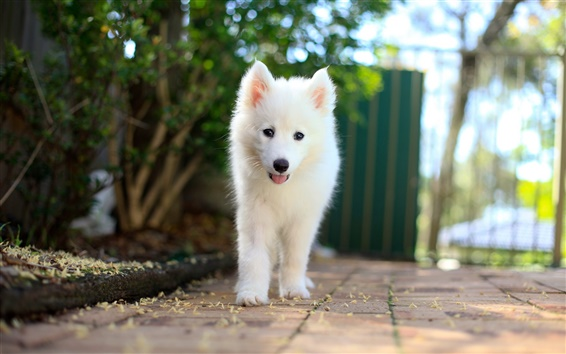Wallpaper Samoyed puppy, white dog