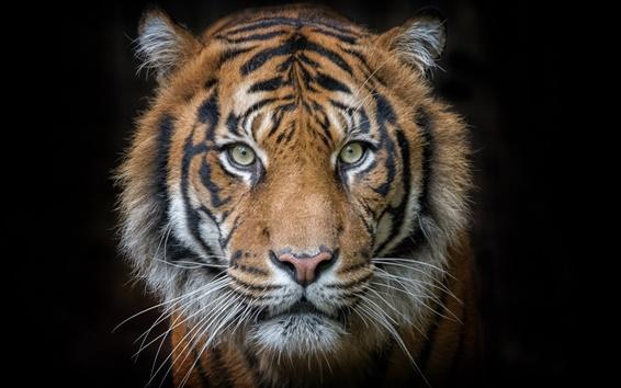 Обои Тигр, портрет, хищник, лицо, черный фон