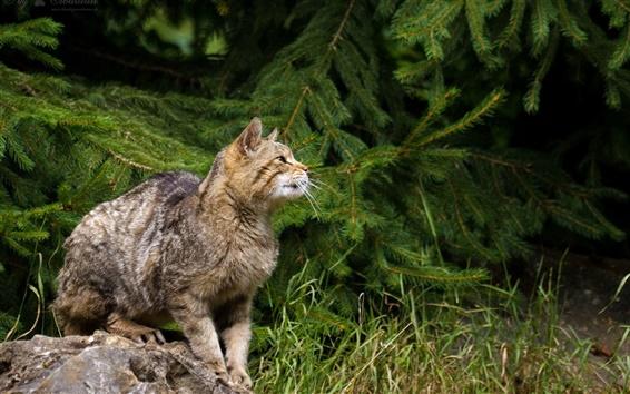 Papéis de Parede Gato selvagem, abetos, grama, pedra