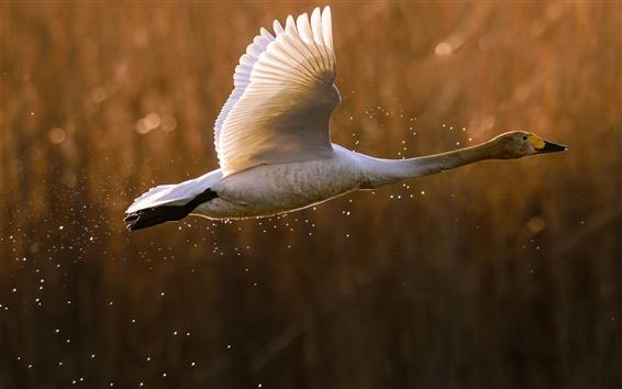 壁纸 野鸭,起飞,飞行,溅