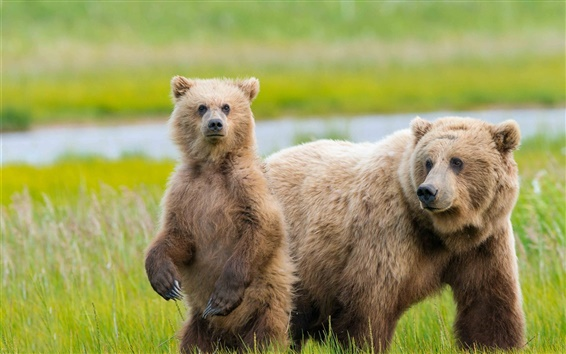 壁紙 アラスカ、2クマ、草