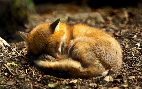 Wallpaper Animal close-up, fox curled up to sleeping