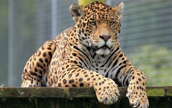 Обои Животные крупным планом, ягуар, вид спереди