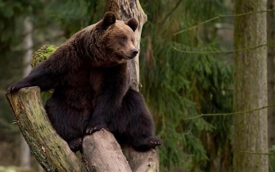 Обои Медведь Восхождение дерева, отдых