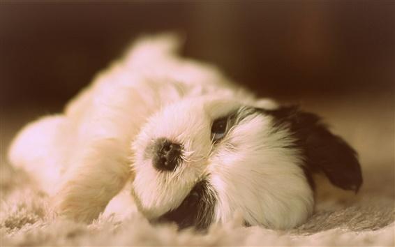 Papéis de Parede Bonito Shih Tzu, cão que encontra-