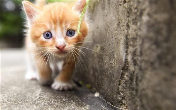 Wallpaper Cute kitten, look, furry
