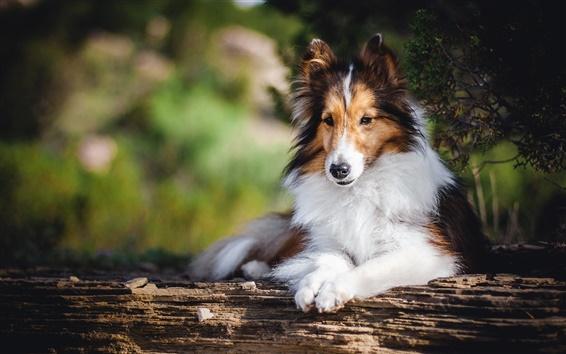 Обои вид спереди собака, отдых