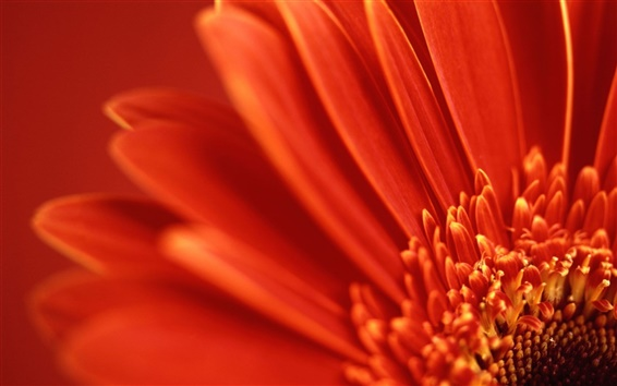 Wallpaper Flower macro, red petals