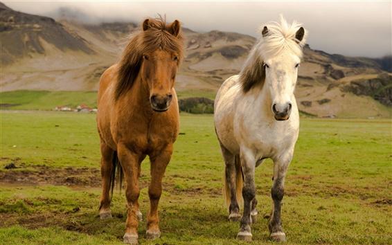 Papéis de Parede Islândia, dois cavalos