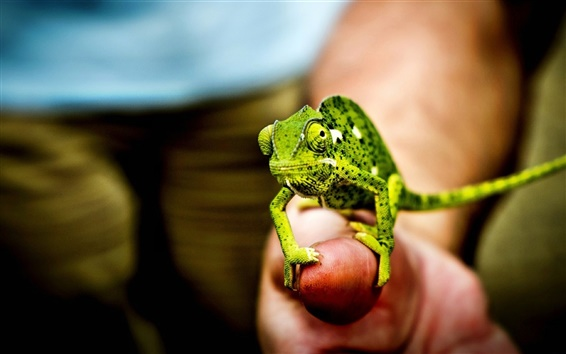 Wallpaper Little green chameleon, hand, fingers