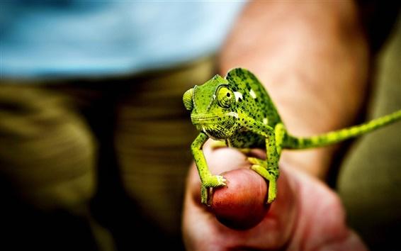 Fond d'écran Little Green caméléon, la main, les doigts