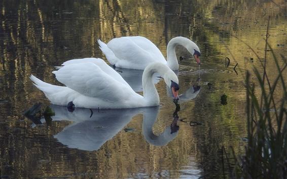 Wallpaper Pond, white swans