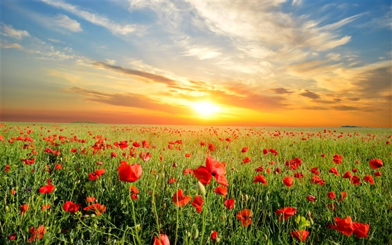 Wallpaper Poppies flowers field, beautiful sunset