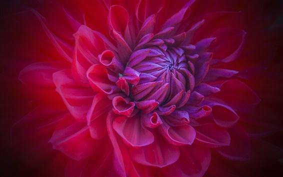 Обои Красный цветок макро, бутон, лепестки