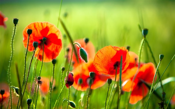 Wallpaper Red flowers, poppies, grass, green