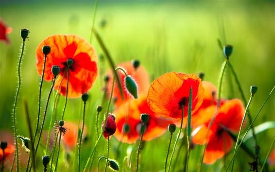 Обои Красные цветы, маки, трава, зеленый