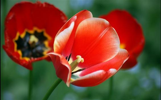 Wallpaper Red flowers, poppies, tulips, bokeh