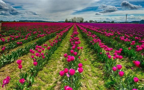 Wallpaper Red tulip flowers field, sky, clouds