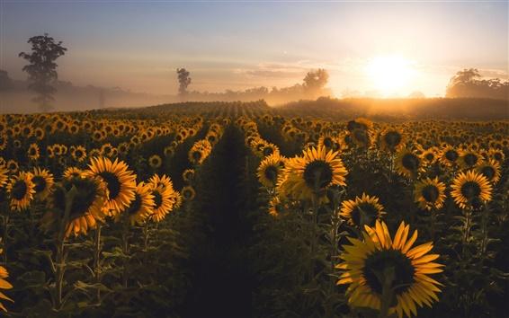 Fond d'écran Tournesols, matin, brouillard, lever de soleil