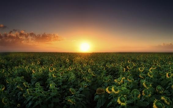 Wallpaper Sunset, sunflowers fields