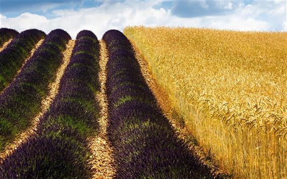 Обои Пшеничные поля, лаванды, Франция