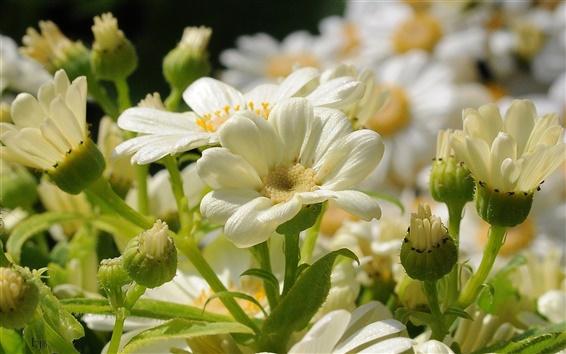 Papéis de Parede Flores brancas, pétalas, close-up