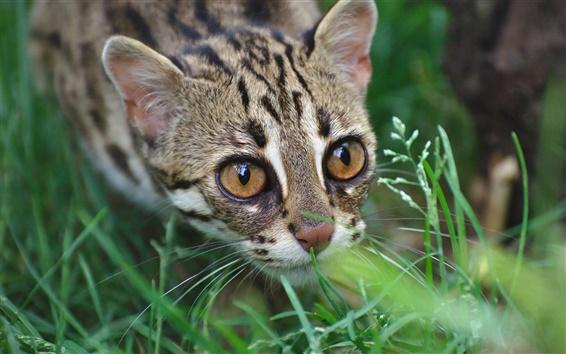 Papéis de Parede Gato selvagem, leopardo, predador, grama