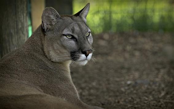Обои Дикий кот, пума, хищник, лес
