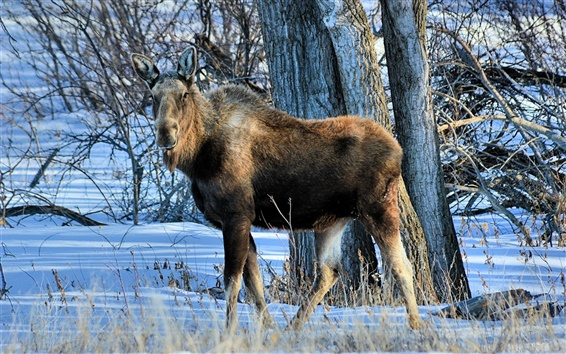 Wallpaper Winter, moose, trees, snow