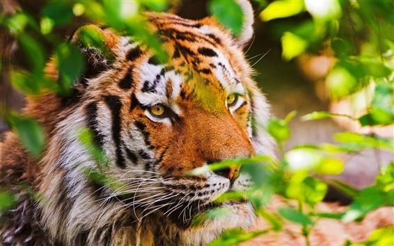 Обои животное крупным планом, тигр, большая кошка, растения