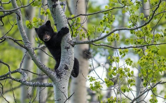 Wallpaper Black bear, birch tree