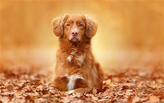 Wallpaper Brown color dog, portrait, leaves, autumn