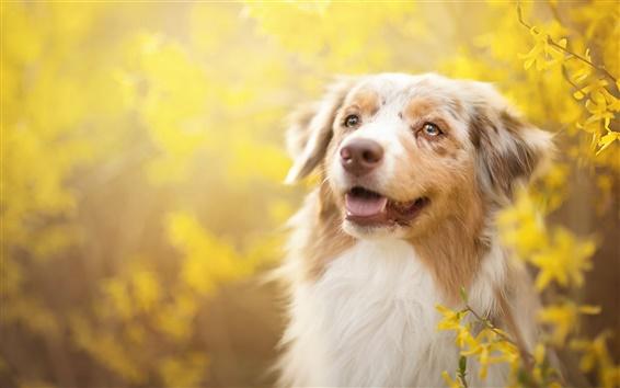 Wallpaper Dog, yellow flowers, spring