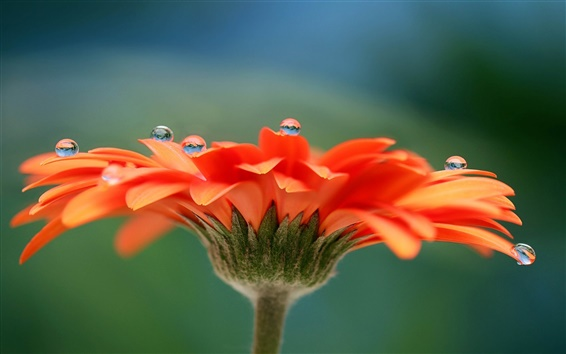 Обои Гербера цветок, лепестки, роса