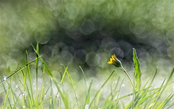Wallpaper Green grass, yellow flower, dandelion, glare