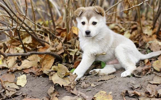Wallpaper Husky dog, puppy, leaves, autumn