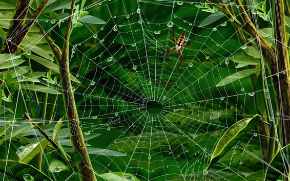 Wallpaper Insect, spider web, green leaves, water drops