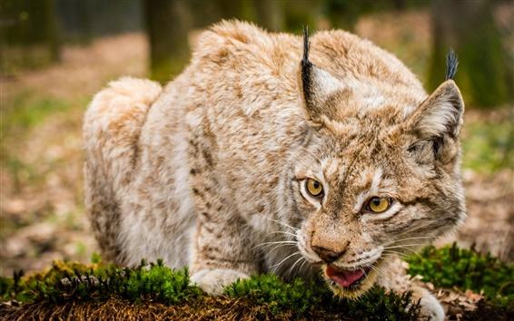 Wallpaper Lynx, wild cat, face close-up
