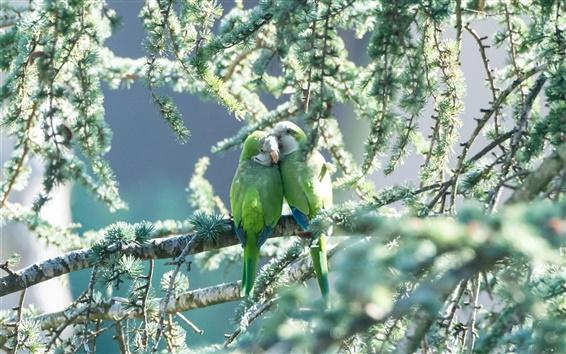 배경 화면 한 쌍의 앵무새, 녹색, 새, 나무