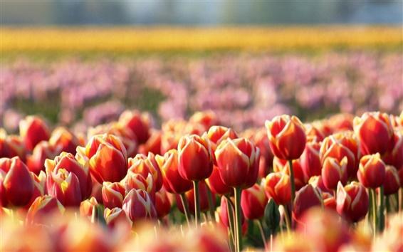 Papéis de Parede Orange Tulip flores, borrão, primavera
